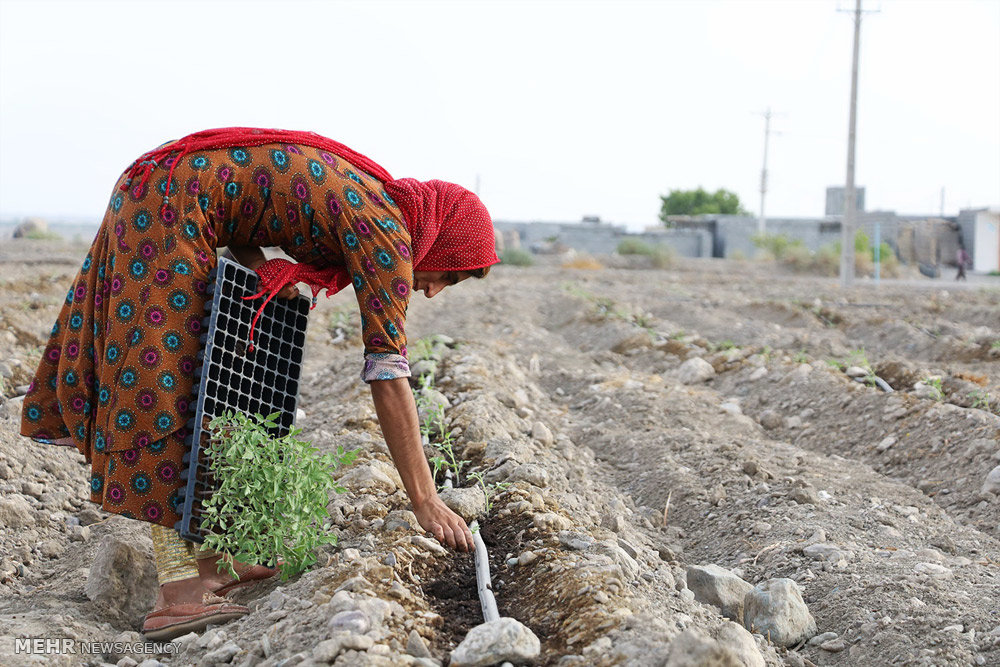 Iranian women farmers planted tomatoes