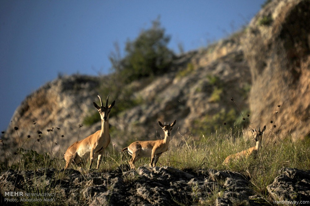 Golestan National Park is one of Iran's largest, oldest and finest national parks accommodating many species of plants and animals. Let's take a look at the park on the occasion of World Animal Day./ Photo: Aboutaleb Nadri, MNA