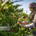 Pomegranate harvest in south Khorasan-Photo