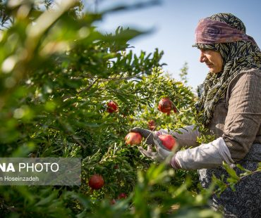 Pomegranate harvest in south Khorasan-Photo