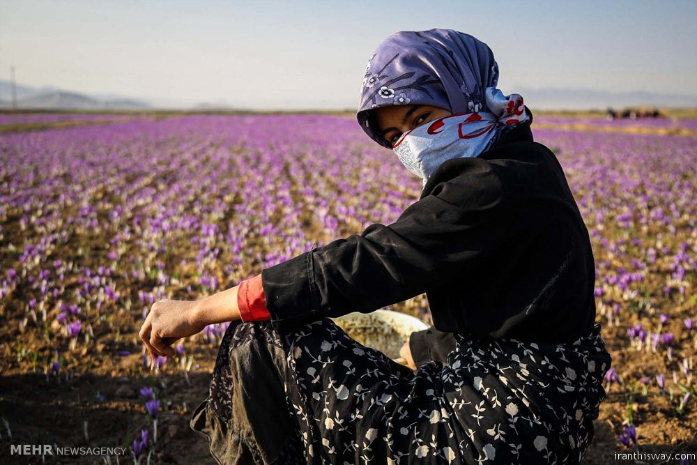 Photo: Iranian saffron harvest begins