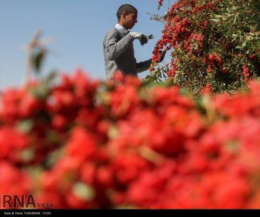Barberry harvesting season in Iran