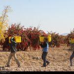 Barberry harvesting season in Iran