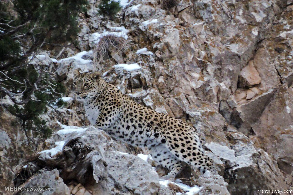 Photo: leopards in Iran