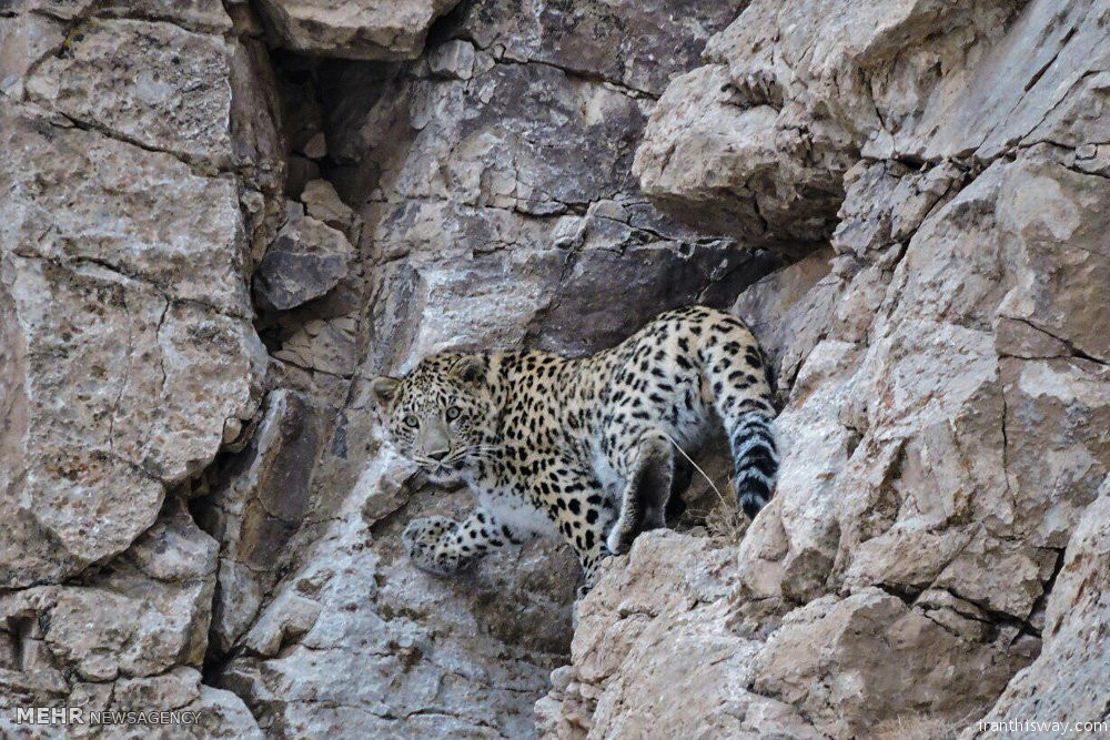 leopards in Iran