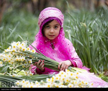 Photo: Harvest Daffodil started Fars Province