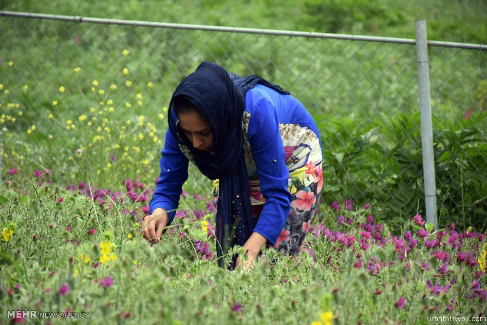 Photo: hand pick medicinal herbs in Gilan